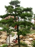绿化树种植